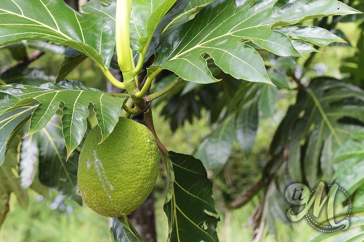 timolokoy-fruit-a-pain-03